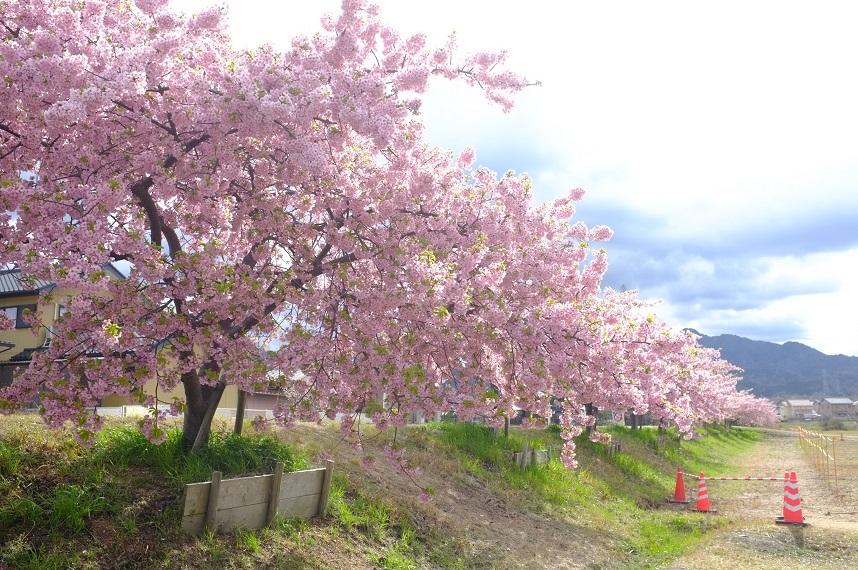 お花見スポットの桜並木