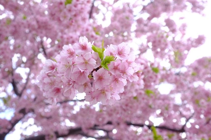 お花見スポットの桜の写真