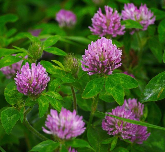 レンゲ草の花